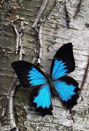 File:Blue Butterfly.jpg